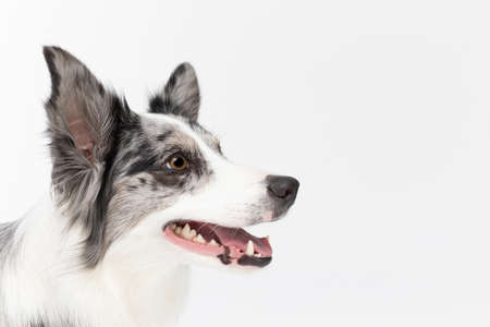 Up close you can see the head of a dog with an open mouth and high ears, and he is looking diligently ahead. Border Collie dog. A purebred dog with a proven pedigree. Intelligent herding dog. 版權商用圖片