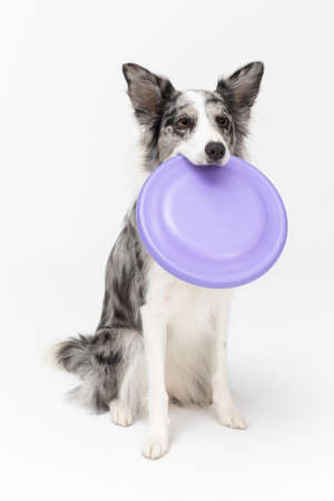 A well-trained dog waits politely sitting on its ass. Border Collie dog. A purebred dog with a proven pedigree. Intelligent herding dog.