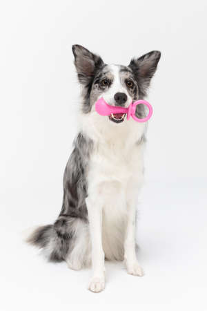 During exercises, the dog sits on his and holds the dogs pacifier in his teeth. Border Collie dog. A purebred dog with a proven pedigree.