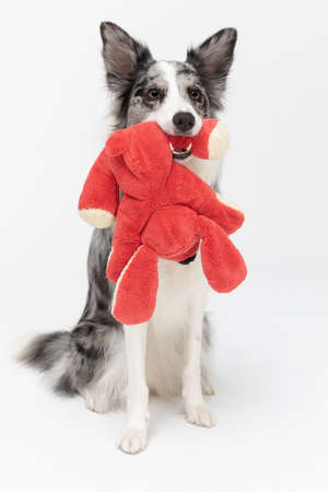 A properly trained dog sits on its and holds its favorite red stuffed animal in its mouth and is ready to play. Border Collie dog. A purebred dog with a proven pedigree. Intelligent herding dog.