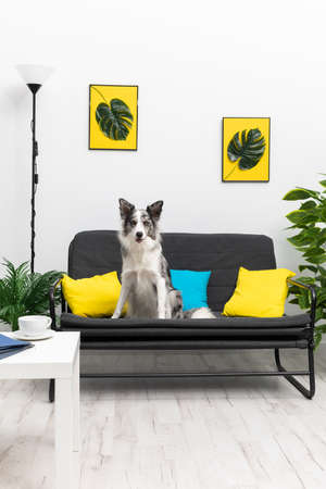 A trained dog sits vigilantly on his on the sofa in the living room at home. Purebred Border Collie dog in shades of white and black, and long and fine hair. Living room in a modern styling.