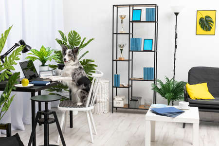 While the babysitter was away, the dog sat on the chair in front of the laptop in the living room. Purebred Border Collie dog in shades of white and black, and long and fine hair. Living room in a modern styling.