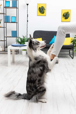 During training in the living room at home, the dog learns to hold his sitter. Purebred Border Collie dog in shades of white and black, and long and fine hair. Living room in a modern styling.