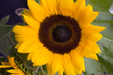 big sunflower closeup photo
