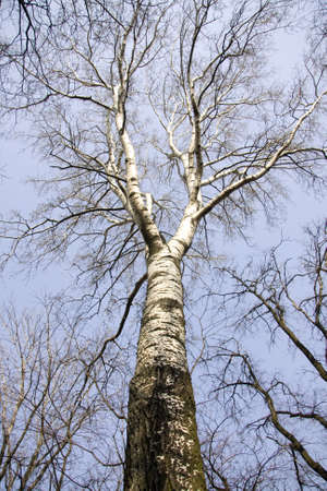 Silver birch tree on the spring photo
