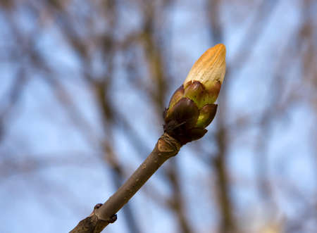 forthcoming: bud on the spring chestnut tree Stock Photo