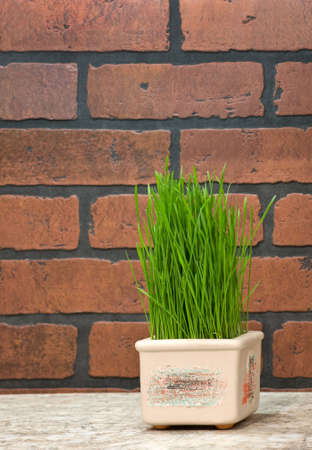 Flowerpot with wheat sprouts near brick wall in the kitchen photo