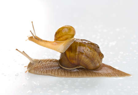 Two snail isolated on white.