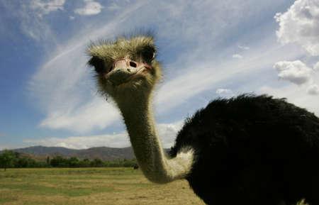 naturaleza: avestruz