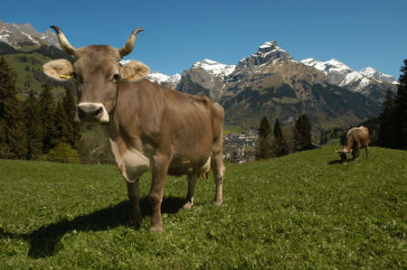 swiss alps: cows at Engelberg on the swiss alps Stock Photo