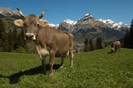 mucche a Engelberg sulle Alpi svizzere Archivio Fotografico