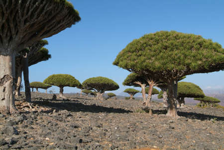 Dragon Blood Trees on the island of Socotra