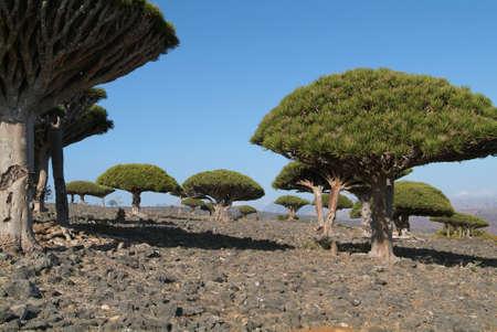 Gli alberi sangue di drago sull'isola di Socotra