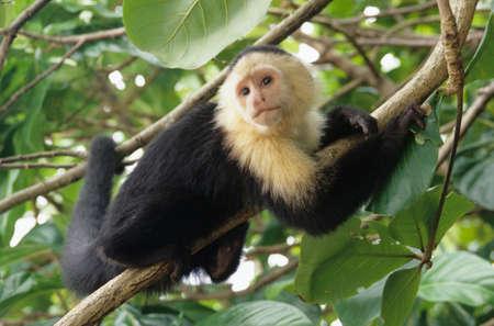 Capuchin Cebo on Cahuita National Park