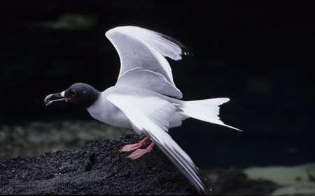 Gull at Galapagos island
