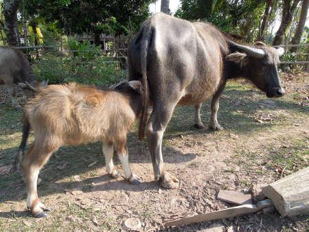 det: Water buffalo at Don Det island on Laos