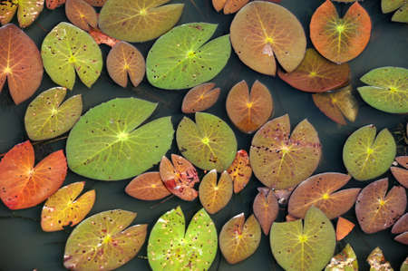 buriram: aquatic plants of Thailand Stock Photo