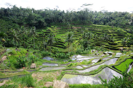 ubud: Rice field near Ubud on the island of Bali, Indonesia