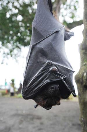 pteropus: Pteropus giganteus Bat on the island of Bali, Indonesia Stock Photo