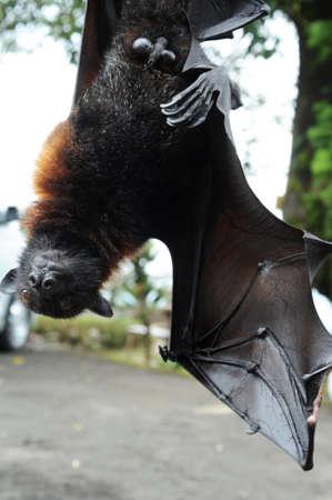 pteropus: Pteropus giganteus Bat sull'isola di Bali, Indonesia Archivio Fotografico