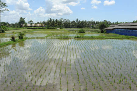 ubud: Rice field at Ubud on the island of Bali, Indonesia Stock Photo