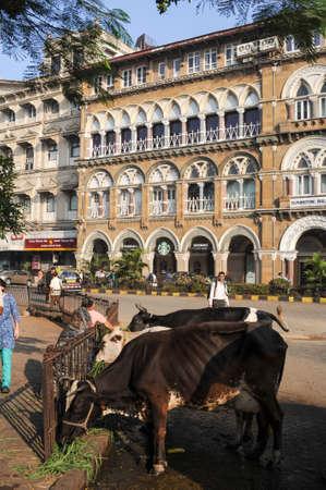 india cow: Mumbai, India - 6 january 2015: People offering food to holy cow at Mumbai, India Editorial