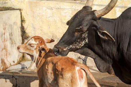 karnataka culture: Cow macca licking her calf at Hampi on India