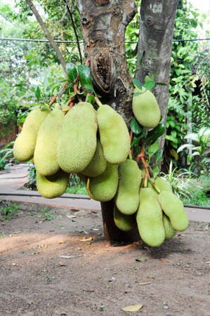 alleppey: Jackfruit on the tree. Exotic big fruit with strange smell.