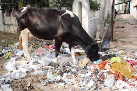 mysore: Hungry Brahmin cow eating trash on the street of Mysore on India