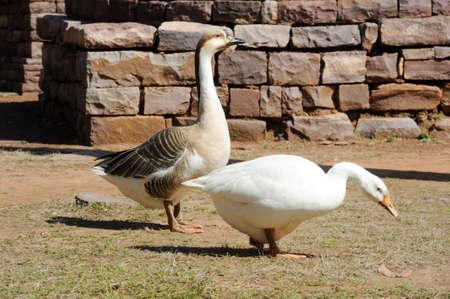 sanchi stupa: Two geese at Great Buddhist Stupa in Sanchi, Madhya Pradesh, India