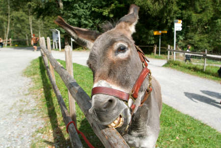 funny donkey: Funny donkey eating a pice of wood from the fence at a farm in Ballenberg, a Swiss open-air museum in Brienz, Switzerland