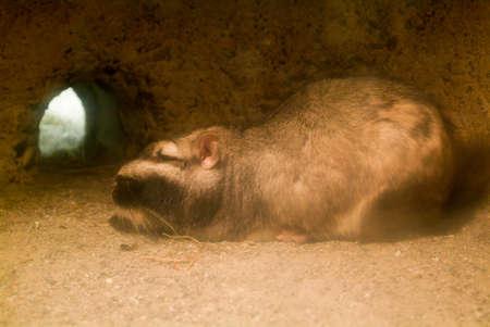 den: Capybara in his den at zoo of Zurich on Switzerland