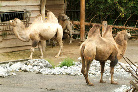 toed: Camels at zoo of Zurich on Switzerland Stock Photo