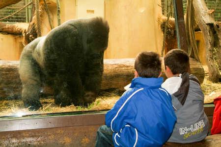 anthropoid: Zurich, Switzerland - 22 August 2006: People observing gorillas in the Zoo Zurich on Switzerland