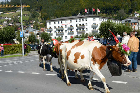 Engelberg, Switzerland - 26 September 2015: Farmers with a herd of cows on the annual transhumance at Engelberg on the Swiss alps