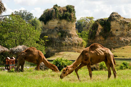 santo domingo: Two camels at the zoo of Santo Domingo Stock Photo