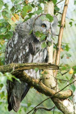 ural owl: The Ural Owl (Strix uralensis) in the forest
