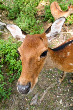 deer  spot: Curious deer close-up on a wood Stock Photo