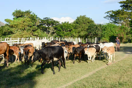 ingestion: Santiago de Cuba, Cuba - 14 january 2016: Farmer conducting his herd of cows near Santiago de Cuba, Cuba