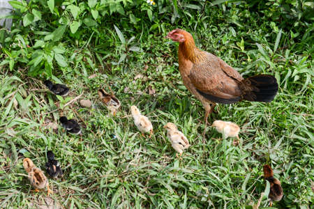 sitter: Hen and chicks walking on the grass