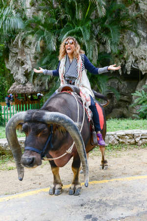 funny ox: Vinales, Cuba - 24 january 2016: woman riding an ox at the Vinales valley in Cuba Editorial