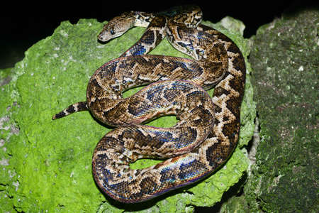 dione: Maja de Santamaria snake on the forest of Giron on Cuba