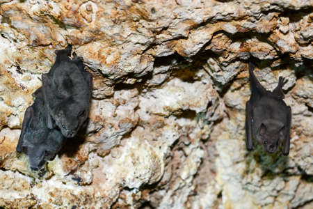 membranes: Bat on a cave at Giron on Cuba