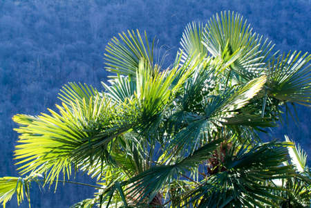 palmtrees: Palmtrees in backlight at Lugano On Switzerland Stock Photo
