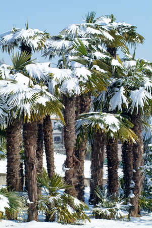 palmtrees: Group of palmtrees with snow on it at Lugano On Switzerland