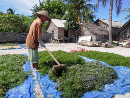 14 february: Nusa Lembongan, Indonesia - 14 February 2013: woman working at an algae field in Nusa Lembongan on Indonesia