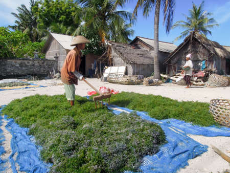 nusa: Nusa Lembongan, Indonesia - 14 February 2013: woman working at an algae field in Nusa Lembongan on Indonesia