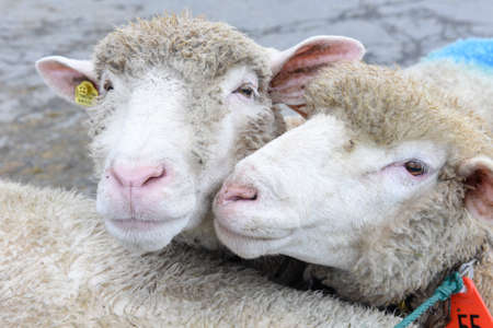 Stans, Switzerland - 2 October 2016: Closeup of two sheep at the market of Stans on the Swiss alps