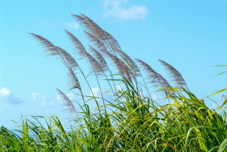 Flowers of sugar cane in the wind at La Reunion Island, France