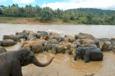 orphanage: Elephants from the Pinnewala Elephant Orphanage enjoy their daily bath at the local river
